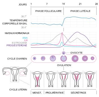 350px-Cycle_menstruel.svg